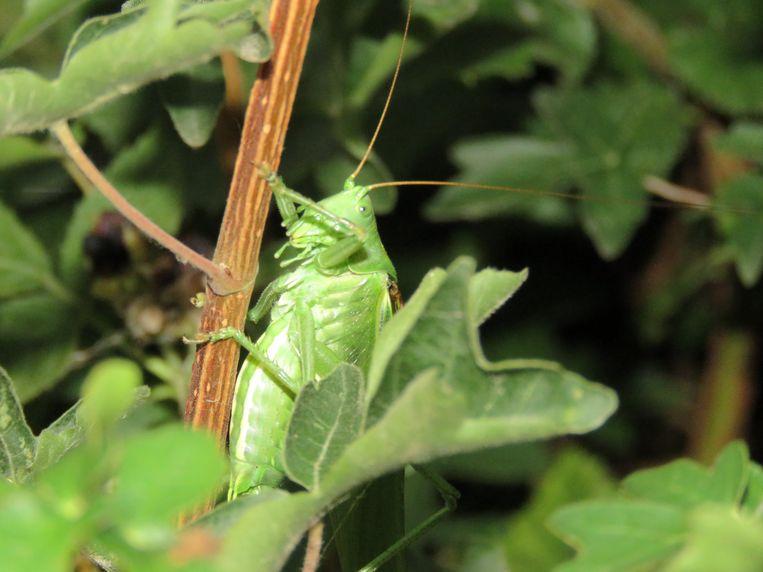 Wat is een zomers avondommetje zonder krekel getjirp trouw grote groene sabelsprinkhaan koos dijksterhuis natuurdagboek altavistaventures Images