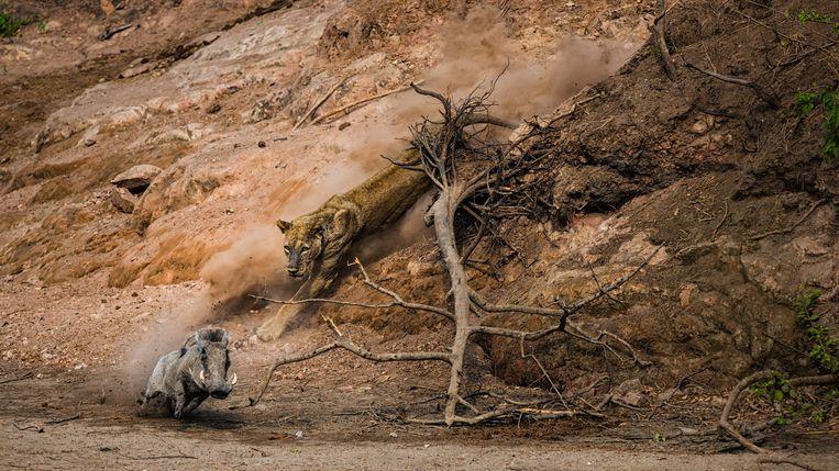 Een leeuwin op jacht in Chitake Springs, in Mana Pools National Park, Zimbabwe. Beeld Federico Veronesi