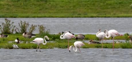 Wilde flamingo's komen buurten in natuurgebied bij Zierikzee