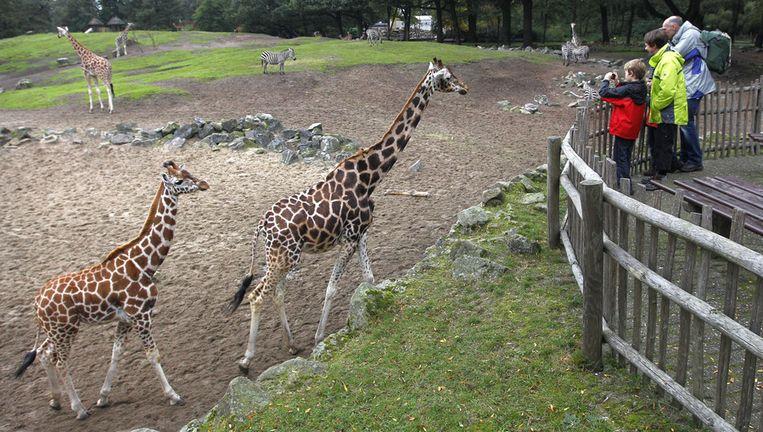 Giraffen in dierenpark Emmen. Beeld anp