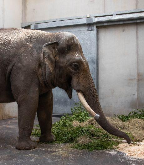 Transfer in Blijdorp: olifant Timber verlaat Rotterdam