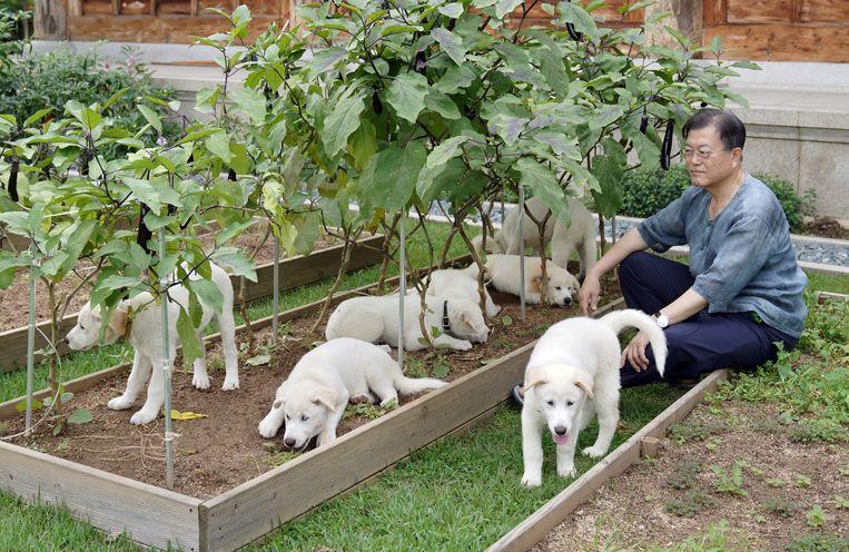 De Zuid-Koreaanse president Moon Jae-in met zeven pups uit het nest van een hond die hij in 2018 kreeg van de Noord-Koreaanse leider Kim Jong-un.  Beeld EPA