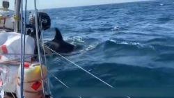 Spectaculaire beelden tonen hoe orka's boten rammen voor de kust van Spanje en Portugal