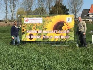 Wie kweekt de grootste zonnebloem? Landelijke Gilde Verbrande Brug deelt 20.000 zonnebloemzaadjes uit