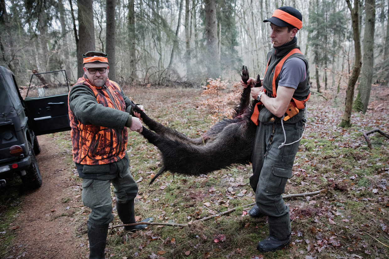 Jager Jakob Zunk is het tijdens de jacht alleen gelukt herten te schieten en helpt mee met een geschoten zwijn.    Beeld Daniel Rosenthal / de Volkskrant