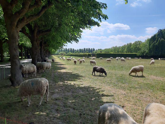 Er grazen opnieuw schapen op het Schoonselhof.
