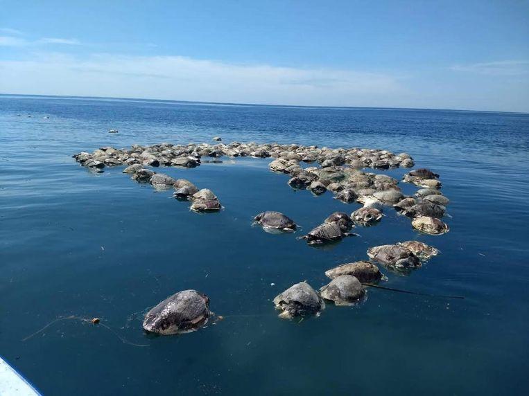 Een grote groep bedreigde dwergschildpadden verstrikt in tonijn-visnetten voor de kust van Mexico. Beeld EPA