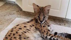 Serval vermist in Oostende: baasjes beloven 1.000 euro voor wie Thor vindt