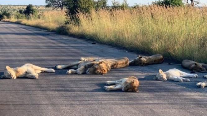 Uniek tafereel: leeuwen tukken op de weg in Zuid-Afrikaanse Krugerpark