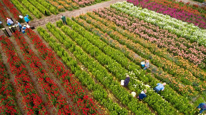 Kleurrijke dahliavelden zijn over enkele weken weer te zien rond Vollenhove en Sint Jansklooster