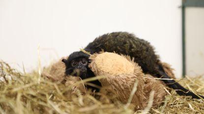 Politie neemt schattig, maar illegaal zoekertje in beslag: aapje te koop aangeboden op tweedehandssite