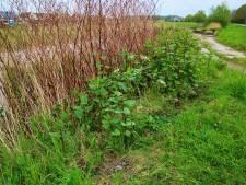 Horrorplant gesignaleerd in Bernissegebied: 'Japanse duizendknoop groeit hier 30 centimeter per dag'