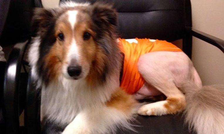 Hond Ollie zou spuitje krijgen, maar wordt gered door stagiaire