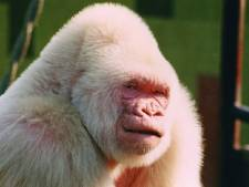 Mysterie van albinogorilla Snowflakes ontrafeld