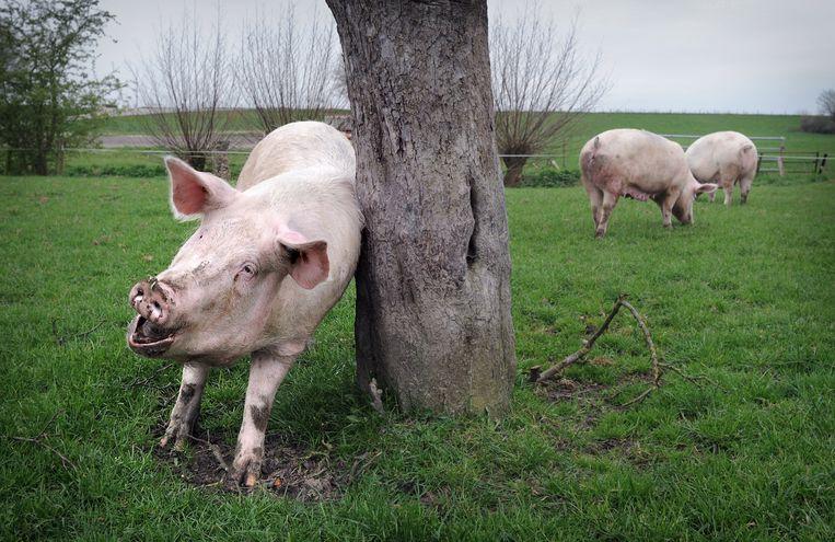 De varkens van biologische boerderij Schuttershof in Well mogen naar buiten.  Beeld Marcel van den Bergh / de Volkskrant
