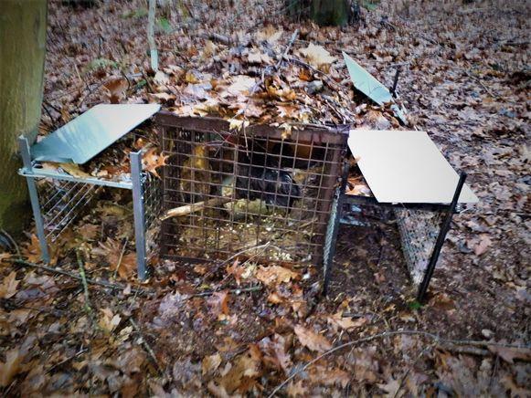 Illegale vossenjacht Beernem