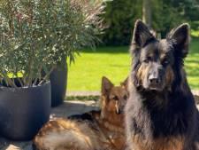 Herders naar Internos, de honden van PIT niet en Dobermanns weg uit Etten-Leur