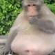 Apen in de Apenheul zijn op dieet