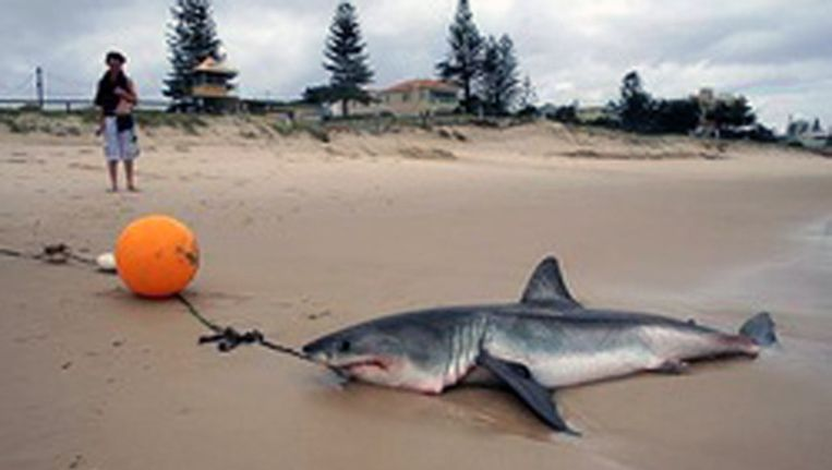 Een met een zogenoemde 'drum line' of 'haaienboei' gevangen haai op het strand in Australië Beeld Shark Defence Australia inc.