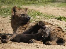 Twee gevlekte hyenapups geboren in Safaripark Beekse Bergen