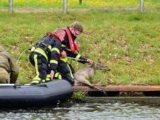 Drie reeën in Wilhelminakanaal Dongen; een dier overlijdt