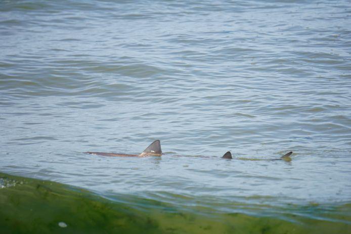 Meterslange haai in Terschellinger water.