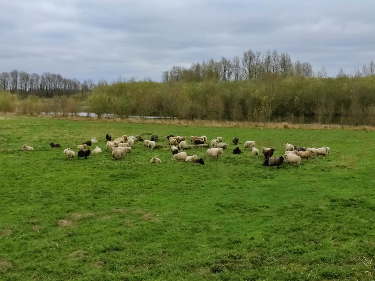 De schaapskudde van Jimmy Kemink begraast de oevers van de Berkel tussen Rekken en Oldenkotte. Loslopende honden jagen de dieren de door in.