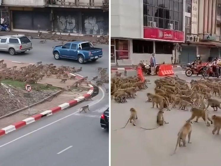 'Rivaliserende apenbendes' vechten op kruispunt in Thailand