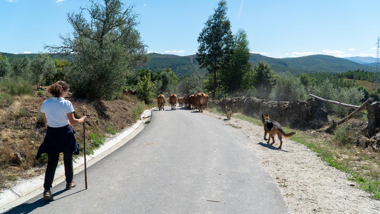 Boer en actievoerder Aida Fernandes met haar vee in Covas do Barroso.