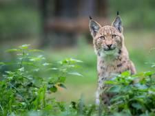 Un lynx filmé pour la première fois en Belgique