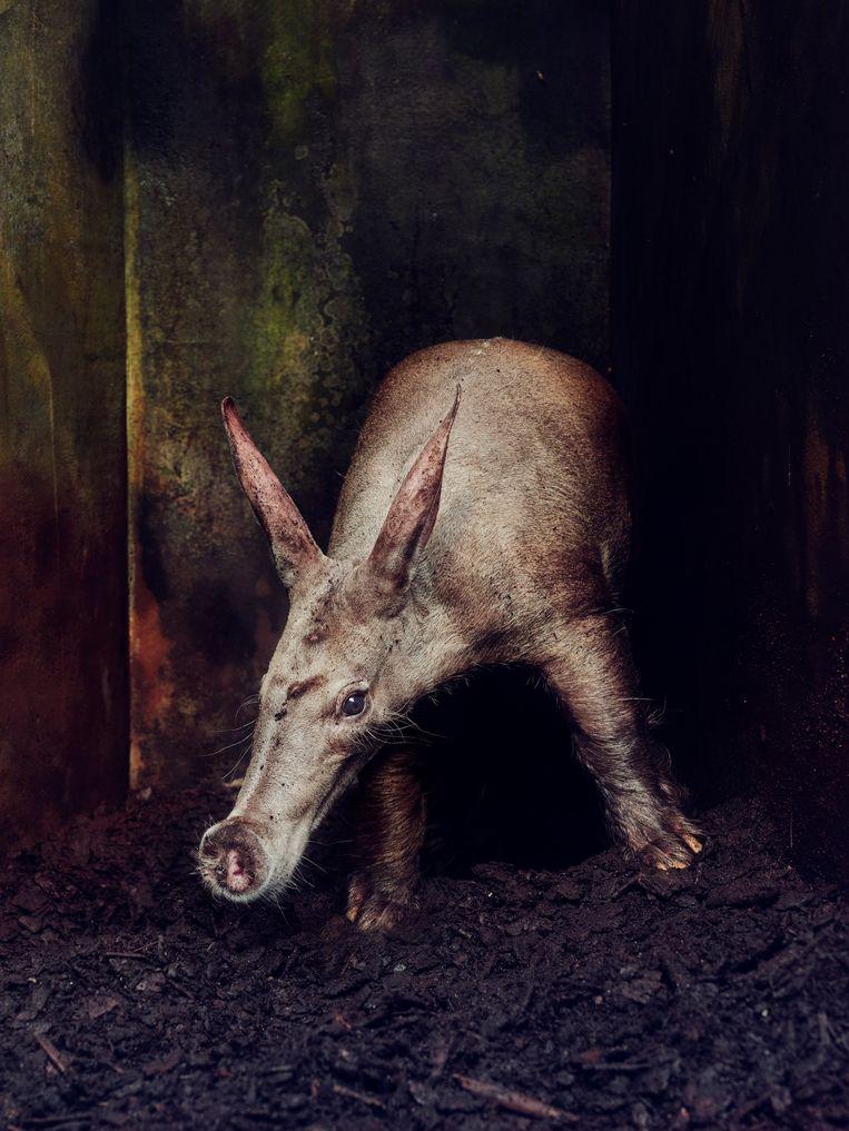 Aardvarken in Arnhem Beeld Eddo Hartmann