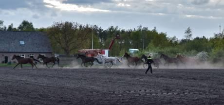 Vijftig herten ontsnappen in Tilburg en zoeken hun heil in weiland met paarden