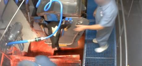 Schokkende beelden: Animal Rights filmt mishandeling van kalveren in Vlaams slachthuis