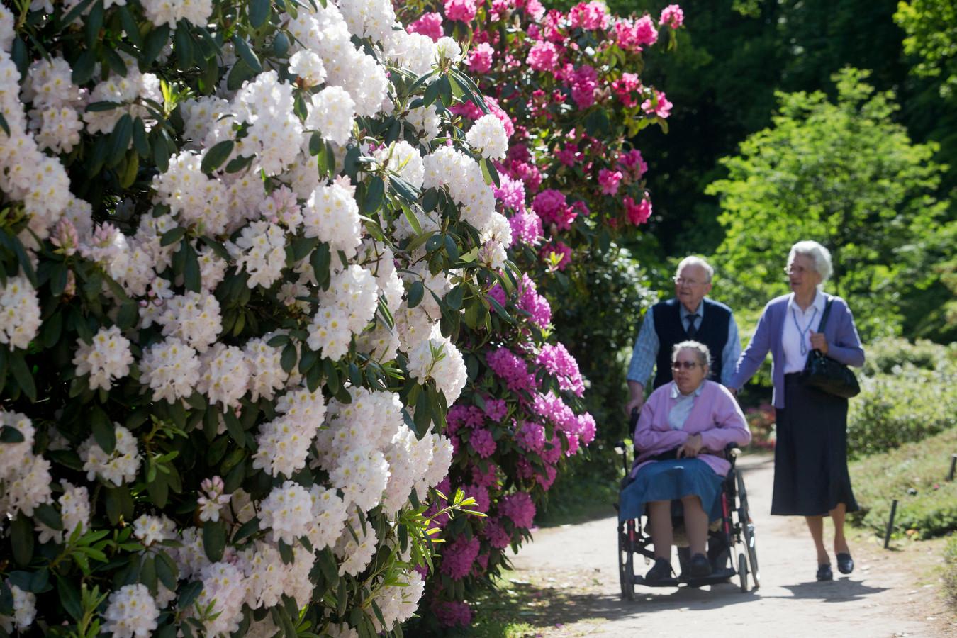 Bloeiende rododendrons in Belmonte Arboretum