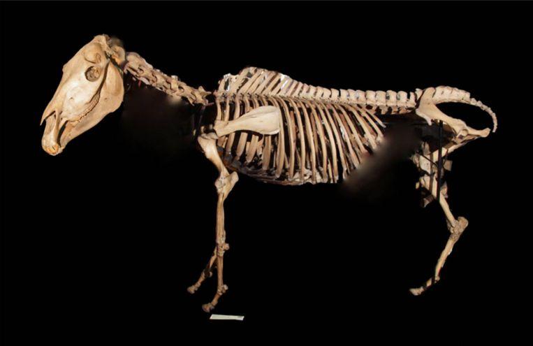 Het enige kwaggaskelet van Engeland staat in Londen, in het universitair Grant Museum of Zoology. Beeld Hollandse Hoogte