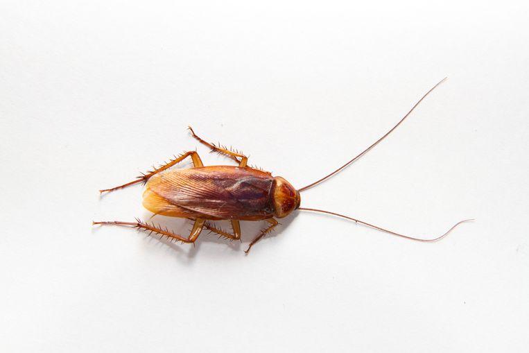 De kakkerlak Beeld Getty Images/EyeEm