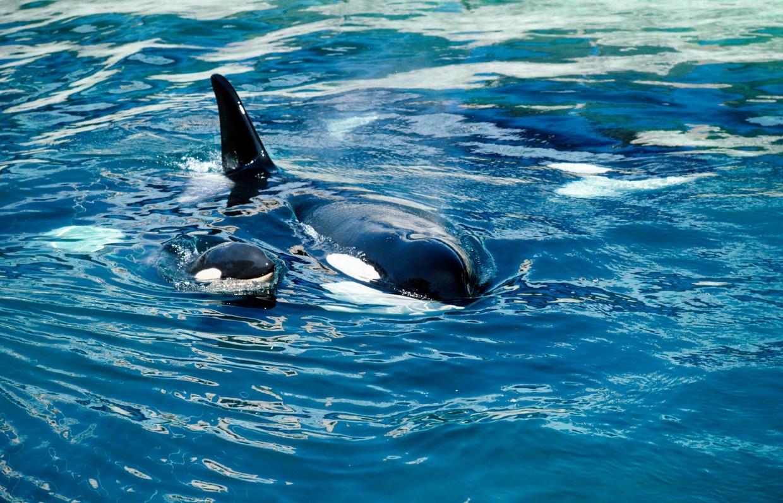 Een orka met een kalfje.