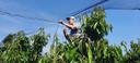 Jo van Houtum knoopt netten aan elkaar, in zijn kersenboomgaard.