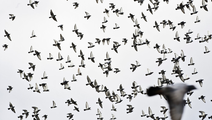 Niet alleen slechtvalken maken jacht op duiven. Foto ter illustratie.