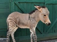 Dit kan er gebeuren als je een zebra en een ezel in dezelfde wei zet