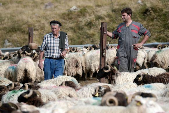 Herders Michel en Sebastien Uthuriague bij hun schapen in Iraty, Larrau, in de Franse Pyreneeën. Acht herders houden zich achtereenvolgens van juni tot september bezig met het veilighouden van 1.500 schapen en het voorkomen van berenaanvallen in een gebied aan de voet van de Pic d'Orhy.