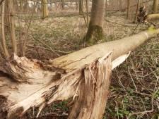 Werkzaamheden Hoge Bergse Bos van start gegaan: 'Gezonde bomen blijven staan'