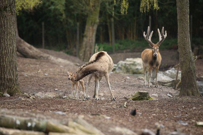 """Pairi Daiza a annoncé jeudi la naissance d'un petit cerf du Père David, une espèce officiellement déclarée """"éteinte dans la nature"""" par l'UICN (Union internationale pour la conservation de la nature)."""