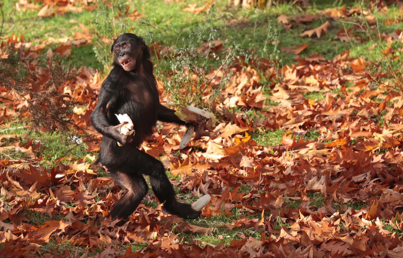 Bonobo Beeld Joke Kok