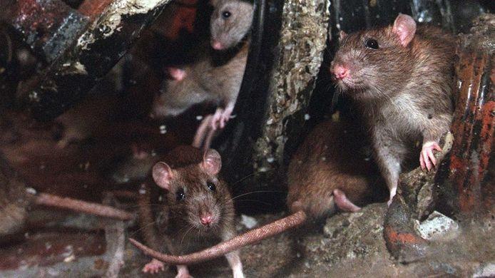 Bruine ratten.