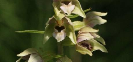 Bijzonder orchidee duikt ineens met tientallen tegelijk op in Biddinghuizen