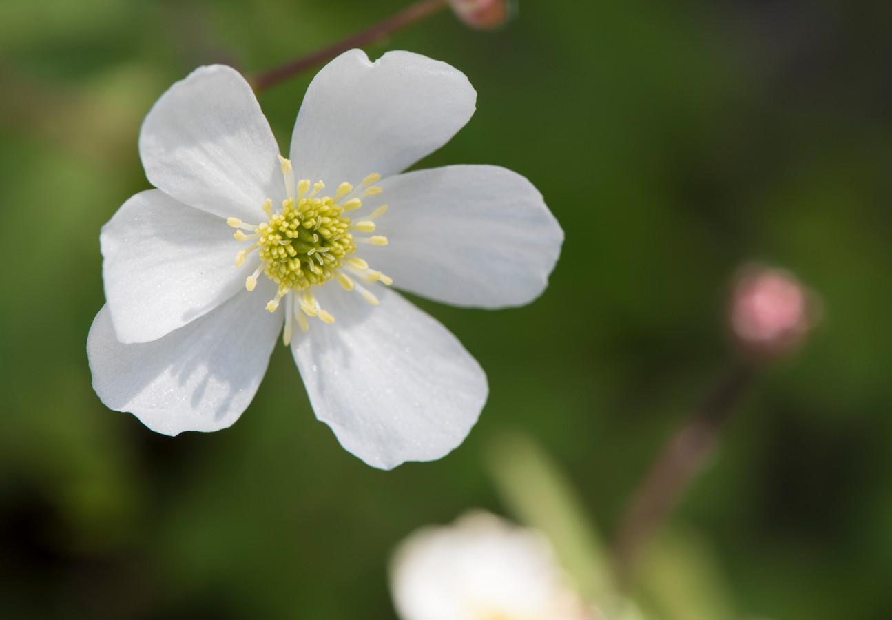 Ranunculus lyallii.
