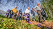 Hallerbos te druk? In Heuvelland ontdek je ook paarse bloemenpracht én hebben ze ook een Hyacintenfestival