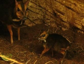 Dwerghertje van amper tien centimeter geboren in Antwerpse Zoo