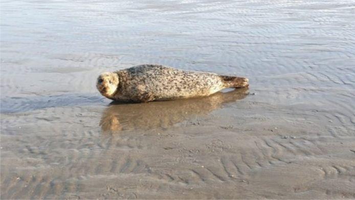 Zeehond Bob op het strand van IJmuiden.